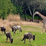 Wild African Safari Animals