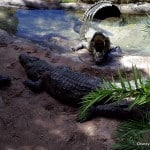 Wild African Safari Gators
