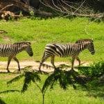 Wild African rek Zebras