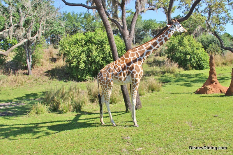 Disneys Animal Adult Giraffe Kilimanjaro Safari Animal Kingdom Walt Disney deleted 7132fedc2ec23718afe2038f1aa8ab30 Disney Dining Adult Giraffe Kilimanjaro Safari Animal Kingdom Walt Disney