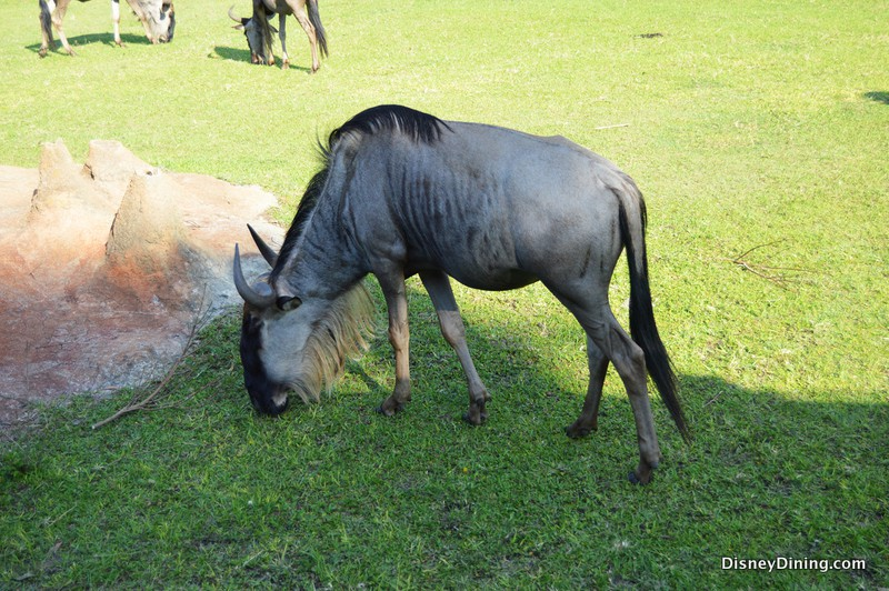 8 Facts And Secrets About Kilimanjaro Safaris In Disney S