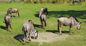 animal-kingdom-kilimanjaro-safari-wildebeest-1-fb-crop